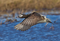 Long-tailed duck drake in summer plumage flying over a pond in the Alaskan tundra.<br />