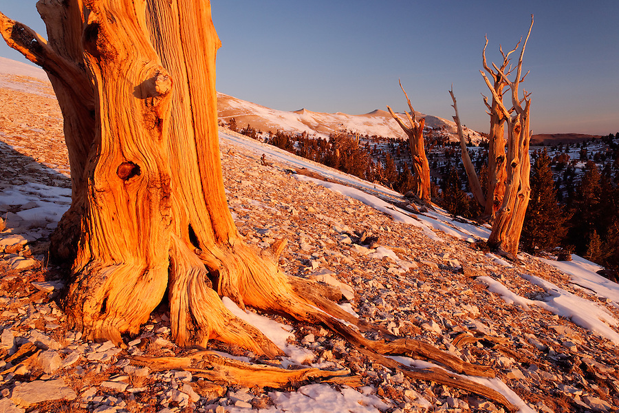 Bristlecone pines and White Mountains at sunrise, Inyo National Forest, White Mountains, California, USA