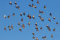 Rock Pigeon (Columba livia),  flock in flight, Zug, Switzerland, Europe