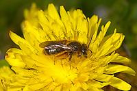 Catsear Mining-bee - Andrena humilis - female