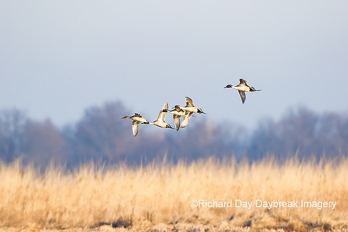 00716-00902 Northern Pintails (Anas acuta) in flight, Marion Co., IL