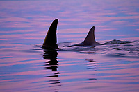 killer whale or orca, Orcinus orca, transient orca, surfacing at twilight, Gulf Islands, British Columbia, Canada, Pacific Ocean