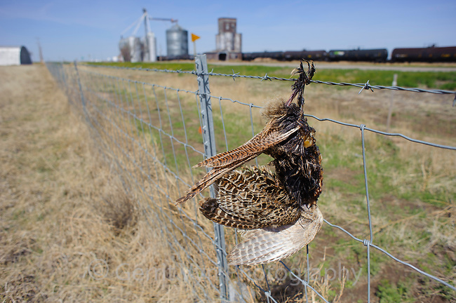 A dead pheasant hangs from a barbed wire fence in western Kansas. Prairie-chickens, grouse, and pheasants are frequent victims of collisions with fences and power lines.