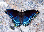 A red-spotted purple butterfly (Limenitis arthemis astyanax), seen near the Constitution Marsh Audubon Center in Cold Spring, NY.