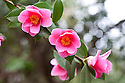 Camellia x williamsii 'Mary Christian' (japonica x saluenensis), mid March.