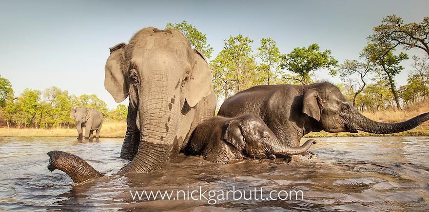 Domestic Asian Elephants (Elephas maximus) - used for riding / taking tourists - bathing. Bandhavgarh National Park, India.