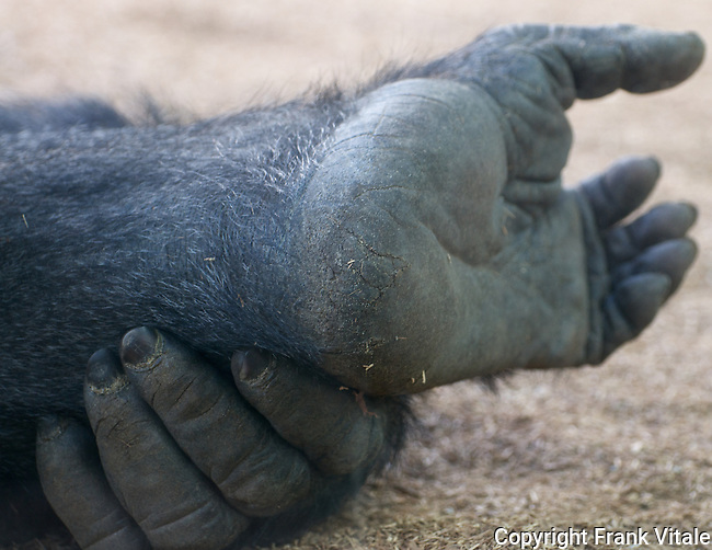 Endangered Western Gorilla, Gorilla gorilla, San Diego Zoo, San Diego, CA