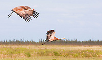A pair of sandhill cranes is captured in flight over the flats near Beluga, Alaska on the west side of Cook Inlet.