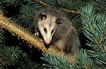 Virginia opossum (Didelphis virginianus).