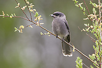 Immature Grey Jay perched on a branch