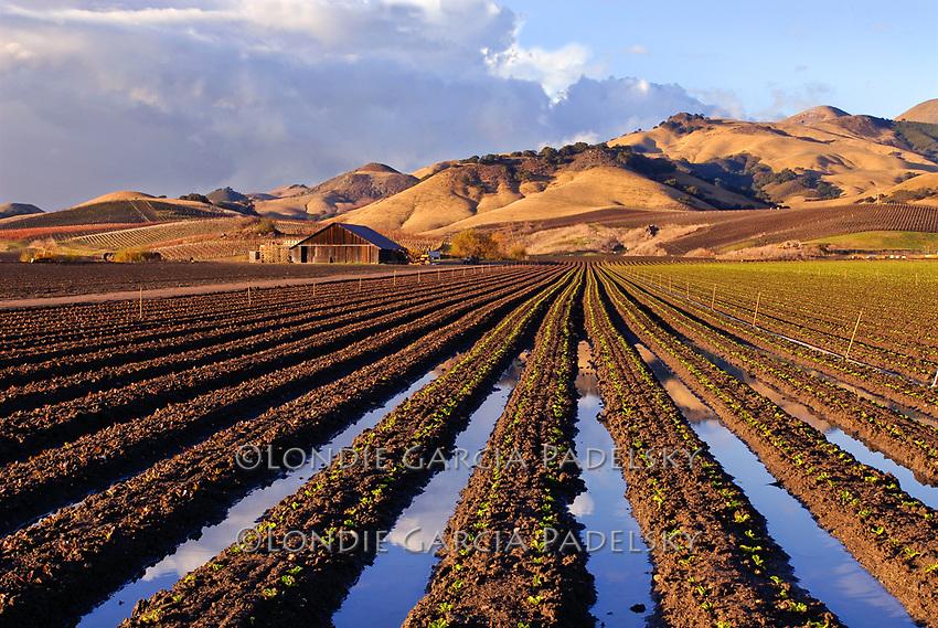 Rows of lettuce lead to the barn,  Arroyo Grande, California