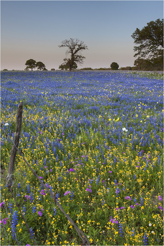 Near San Antonio, the first fields of Texas wildflowers can often be found each spring. Usually well before the blooms in the Texas Hill Country, bluebonnets and other assorted flowers spring to life. This image was taken near Natalia, Texas, on a clear, still evening. The serenity was palpable, as was the smell of bluebonnet pollen.