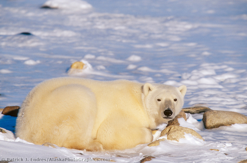 Male Polar bear, Hudson Bay, Churchill, Manitoba, CANADA