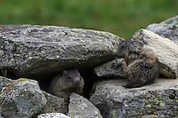 Three Young Marmots