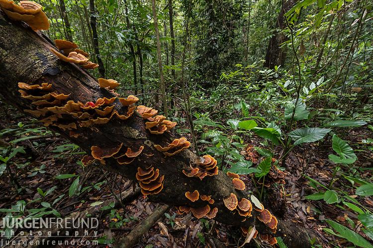 Bracket fungi on dead tree trunk.