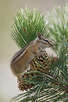 Uinta Chipmunk, Tamias umbrinus, adult on cone of Ponderosa pine(Pinus ponderosa), Rocky Mountain National Park, Colorado, USA