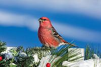 Male pine grosbeak perched on a festive backyard fence in nothern Wisconsin.