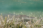 Gardens of the Queen, Cuba; an American Crocodile resting on the sandy bottom amongst the sea grass