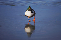 Northern Shoveler (Anas clypeata), male walking on frozen lake, Bosque del Apache National Wildlife Refuge , New Mexico, USA,