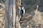 Downy Woodpecker (Picoides pubescens) looking for bugs in a fence post