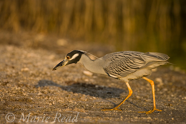 Yellow-crowned Night Heron (Nyctanassa violacea), foraging for crabs, Ding Darling National Wildlife Refuge, Florida, USA