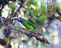 Emerald toucanet in tree over Savegre River