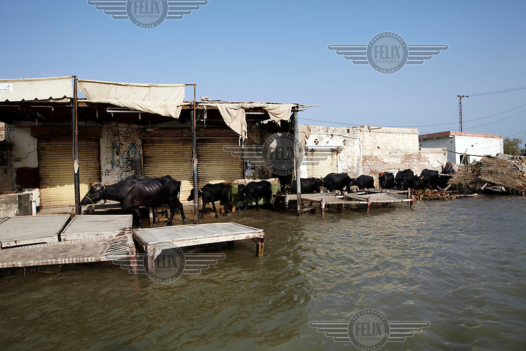 Water buffalo make their way through the floodwaters in the village of Sultan Kot. Severe flooding had left at least 1,600 people dead and affected up to 20 million.