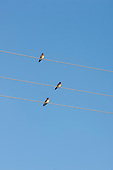 Parana, Brazil. Three birds on three wire cables.
