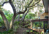 Quercus agrifolia, native live oak tree woodland as backyard for Coyote House, SITES® residential home with sustainable garden Santa Barbara California, Susan Van Atta design