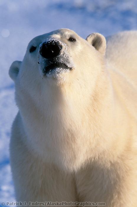 Male Polar bear, Hudson Bay, Churchill, Manitoba, CANADA