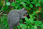 Western gray squirrel in plum tree, Scirus griseus