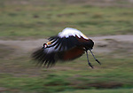 Grey-crowned Cranes, Tanzania (Vulnerable)