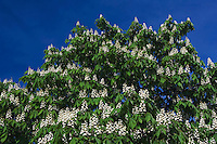 Horse Chestnut, Aesculus hippocastanum, blooming, National Park Lake Neusiedl, Burgenland, Austria, April 2007