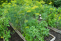 Flowering dill in bloom, edible herb, peppers, vegetable garden with raised beds, tomatoes, peppers, mulch, bok choy, celery, etc
