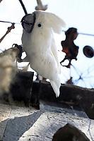 Weißhaubenkakadu Charly hängt am Seil - Weiterstadt 05.08.2018: Tag der offenen Tür auf der Keller-Ranch