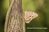 03481-00102 Southern Pearly-Eye (Enodia portlandia) Big Oak Tree State Park Mississippi County, MO