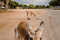 Kangaroo's approach to be fed at the Ox Ranch, on the 15th of August, in Uvalde, Texas, USA. <br /> Photo Daniel Berehulak for the New York Times<br /> The three Kangaroo's that live in front of the lodge are mainly for attraction purposes, and not for hunting. They greet guests on arrival, as they are often fed corn by the newcomers and guides.