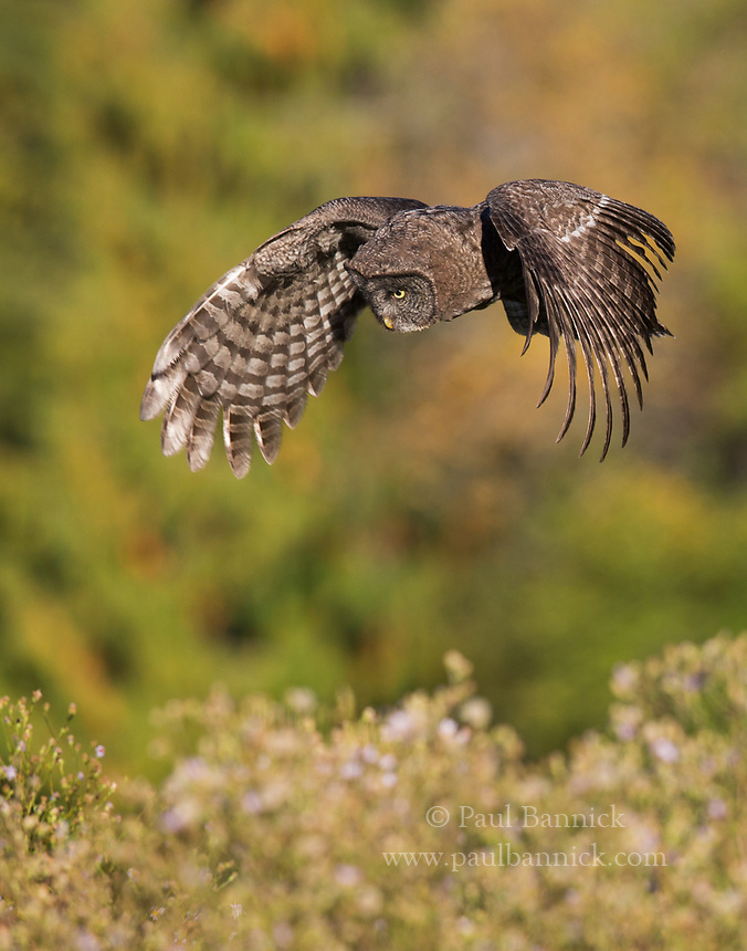 A Juvenile Great Gray Owl hovers above potential prey moving in the grass below.