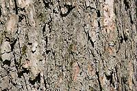 Europäische Lärche, Lärche, Rinde, Borke, Stamm, Baumstamm, Larix decidua, European Larch, Larch, bark, rind, trunk, stem, Le Mélèze d'Europe, Mélèze commun