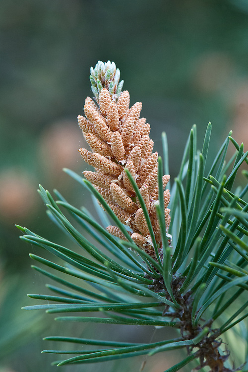 Shore pine (Pinus contorta), early May. Originally from the coastal region of northwestern North America.