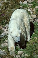 IJsbeer (Thalarctos maritimus) in toendra