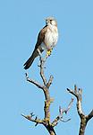 Australian Kestrel Falco cenchroides