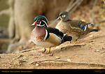 Wood Ducks, Male and Female, Descanso Gardens, Southern California