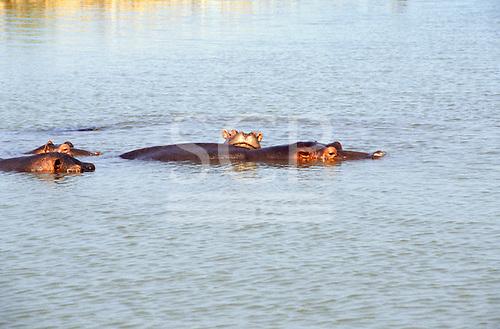 Zambia. Hippopotamus in water.