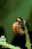 1C28-049z  Colorado Potato Beetle - larva - Leptinotarsa decemlineata