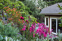 Summer-dry, California hillside garden with flowering shrubs, roses, and perennials - view from window, Diana Magor Garden
