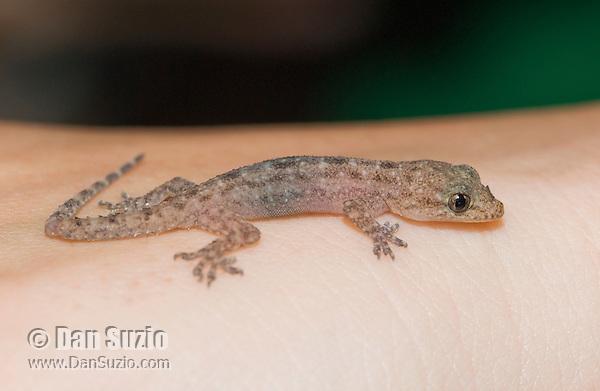 A biology student holds a house gecko, Hemidactylus frenatus. Atauro Island, Timor-Leste (East Timor)