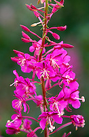 Fireweed (Epilobium angustifolium), Mt. St. Helens National Volcanic Monument, Washington, US
