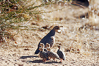 Gambel's Quail adult with babies, Pioneertown, Mojave Desert, California.