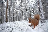 Red squirrel (Sciurus vulgaris) portrait in snow, Cairngorms National Park, Scotland.